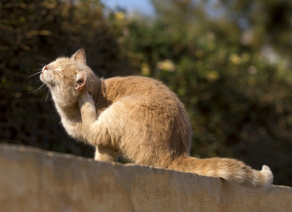 treatment of urinary tract infection in cats